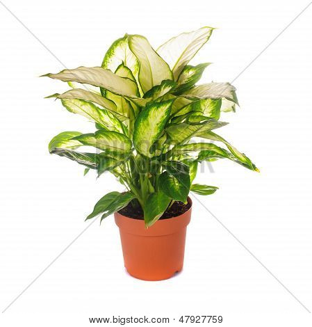 Dieffenbachia Isolated