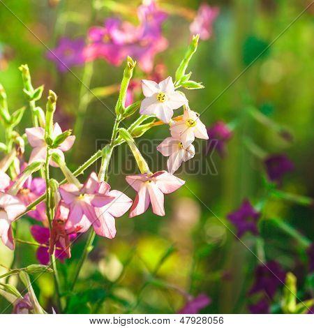Decorative Tobacco Flowers