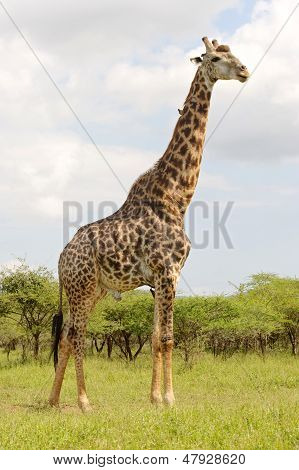 Mature male giraffe (Giraffa camelopardalis) with red-billed oxpeckers (Buphagus erythrorhynchus) in the uMkhuze KZN Park KwaZulu-Natal South Africa. poster