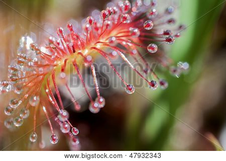 Round-leaved sundew - super macro