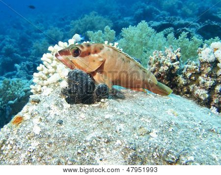 Blacktip Grouper