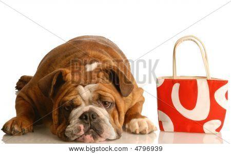 Bulldog Laying Down With Purse