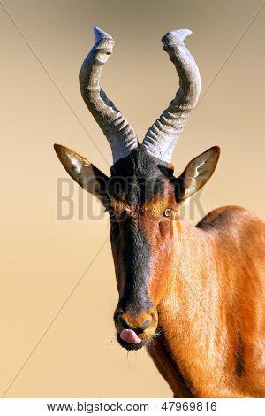 Red hartebeest portrait - Alcelaphus caama - Kalahari -  South Africa
