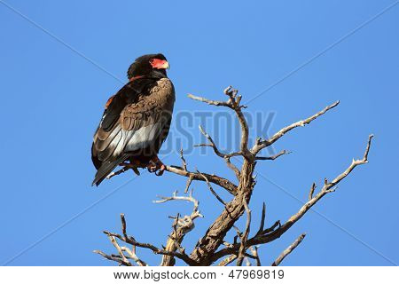 Bateleur perched on top of a tree - Kalahari Desert - South Africa