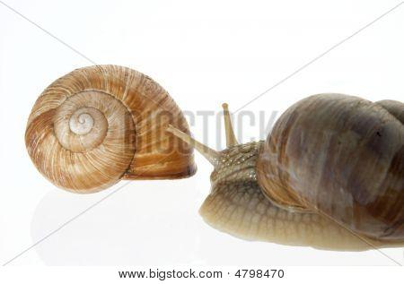 Big Garden Snail And Empty Snail-house