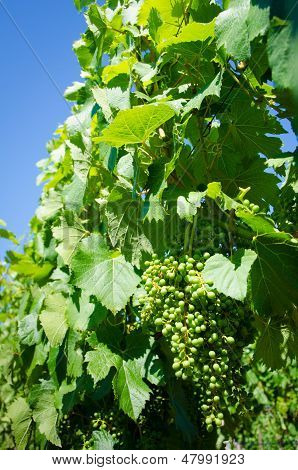 Clusters of young Malbec grapes