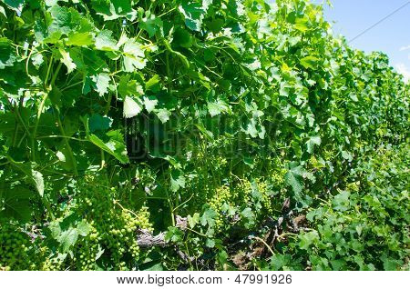 Clusters of young green Pinot gris grapes in the summer before maturing for harvest. poster