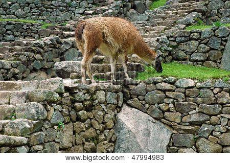 Alpaca grazing at Machu Picchu