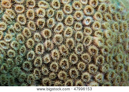 Atlantic Ocean Species Of Coral