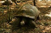 Aldabra Giant Tortoise in reserve on prison island nera Zanzibar poster