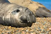 seal in the coast of Peninsula Valdes Patagonia Argentina. poster