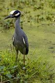 A yellow crowned heron standing on grass beside a green swamp poster