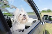 Small dog maltese sitting in a car with open window poster