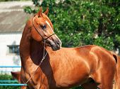 Beautiful sorrel young arabian horse on a sunny day poster