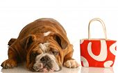 expensive vet bill - english bulldog laying down beside red purse poster