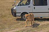 African lioness (Panthera Leo) walk close to car with tourists on safari at Masai Mara National Park Kenya East Africa poster