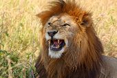 A male lion (Panthera Leo) showing his teeth poster