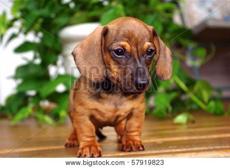 Red Dachshund Puppy on Porch