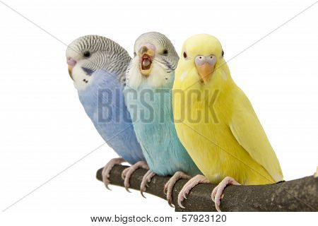 three budgies are on the roost on white background