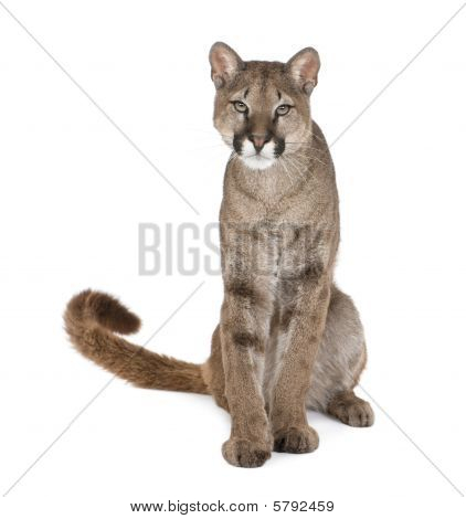 Portrait Of Puma Cub, Puma Concolor, 1 Year Old, Sitting in front of white background, Studio Shot