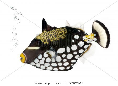 Clown Triggerfish, Balistoides Conspicillum, against white background, Studio Shot