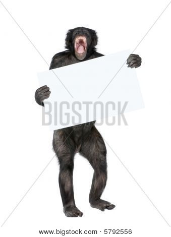 Mixed Breed Between Chimpanzee And Bonobo Holding Blank Posterboard, 20 Years Old Studio Shot