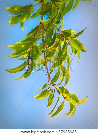 Green Leaf Tree Branch and Blue Sky