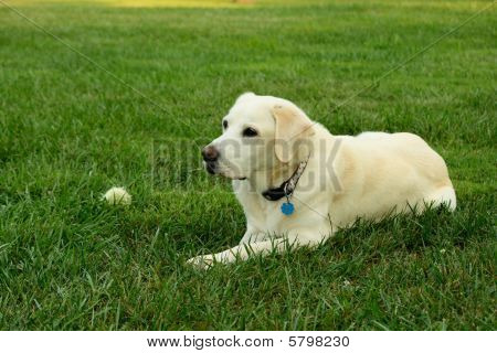A mature Yellow Lab lays next to his ball on a well manicured lawn. poster