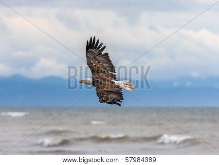 American Bald Eagle at Alaska
