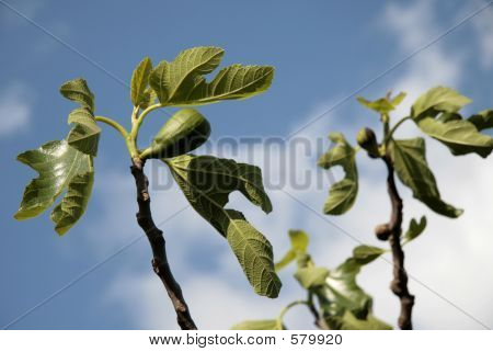 Figs On A Branch