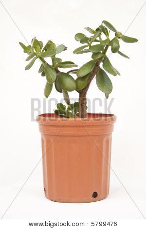 A Jade plant