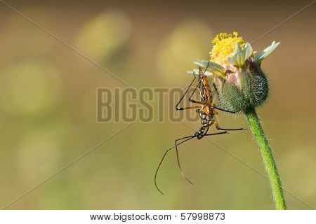A Flower Assassin bug (Cosmolestes pictus)waiting patiently for prey to arrive on a small flower (Tridax procumbens) poster
