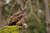 Eurasian Eagle Owl holding mouse as prey on moss rock poster