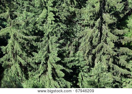 Green Pine As A Background