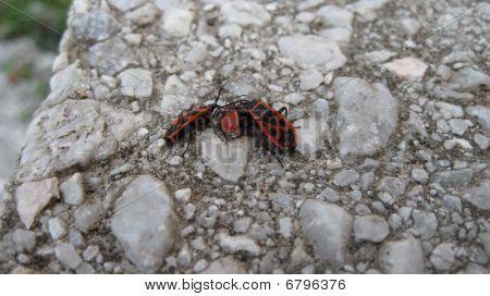 Gendarme Bug