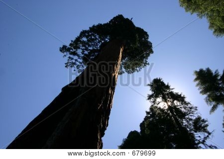 Redwood Tree Perspective