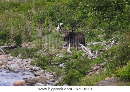 A bull moose resting next to a river poster