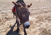 a donkey walking along lonely on a beach poster