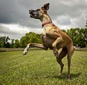 Leaping great Dane in green field on hind legs poster