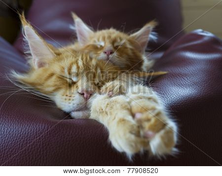 maine coon cats family relax