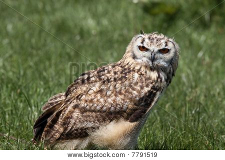 Owl Sitting In The Grass Looking Into Camera