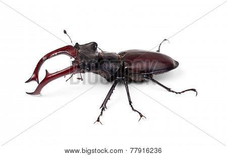 Brown Stag Beetle Lucanus Cervus, The Largest European Beetle Isolated On White