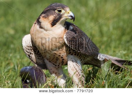 Hawk Sitting In The Grass With Prey