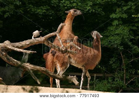 Guanaco lamas (Lama guanicoe) having sex.