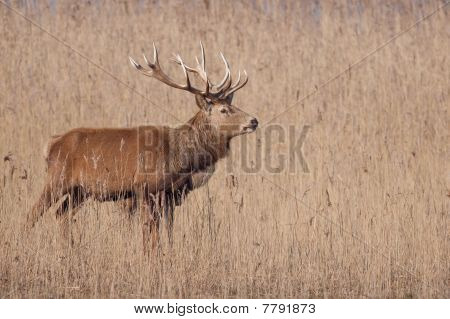 Beautiful Male Elk