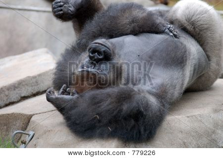 Gorilla Playing