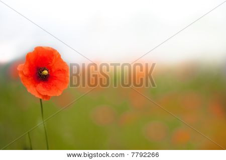 Beautiful Poppies In A Field