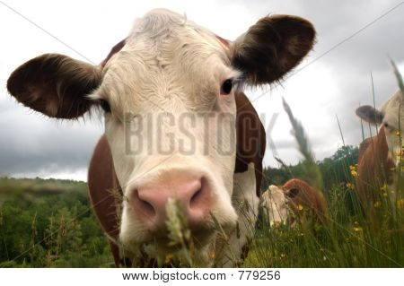 perspective cows