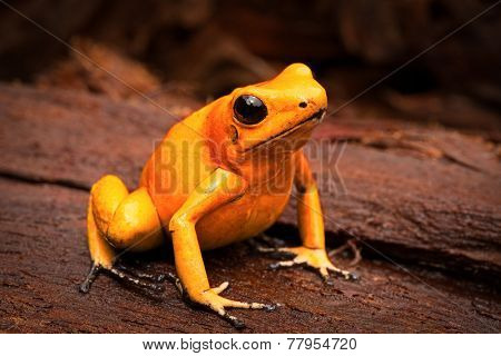 poisonous frog, poison dart frog Phyllobates terribilis a dangerous animal from the tropical rain forest of Colombia. Toxic amphibian with bright yellow and orange colors