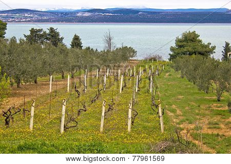 Vineyard And Olive Trees Groove